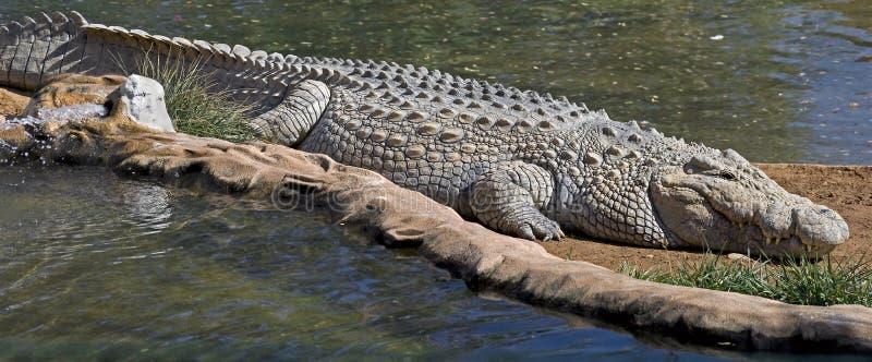 Coccodrillo di Nilo fotografie stock