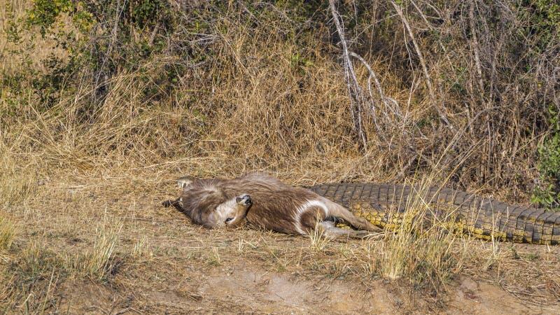 Coccodrillo di Nilo nel parco nazionale di Kruger, Sudafrica; immagini stock libere da diritti