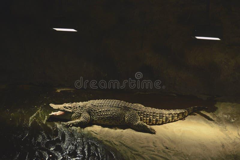 Coccodrillo di Nilo nello ZOO di cattività fotografia stock libera da diritti