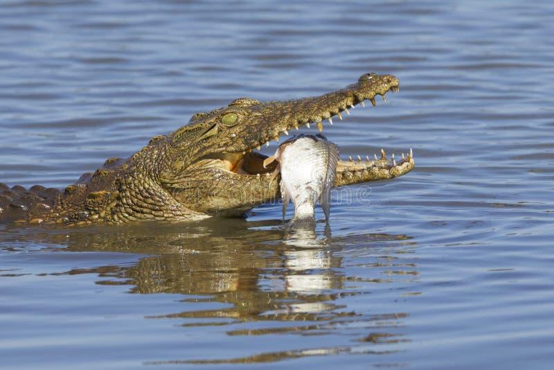 Coccodrillo di Nilo (niloticus) del Crocodylus che mangia, Sudafrica fotografia stock libera da diritti