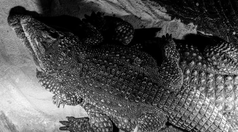 Coccodrillo di Nilo o di crocodylus niloticus sulla cima immagine stock