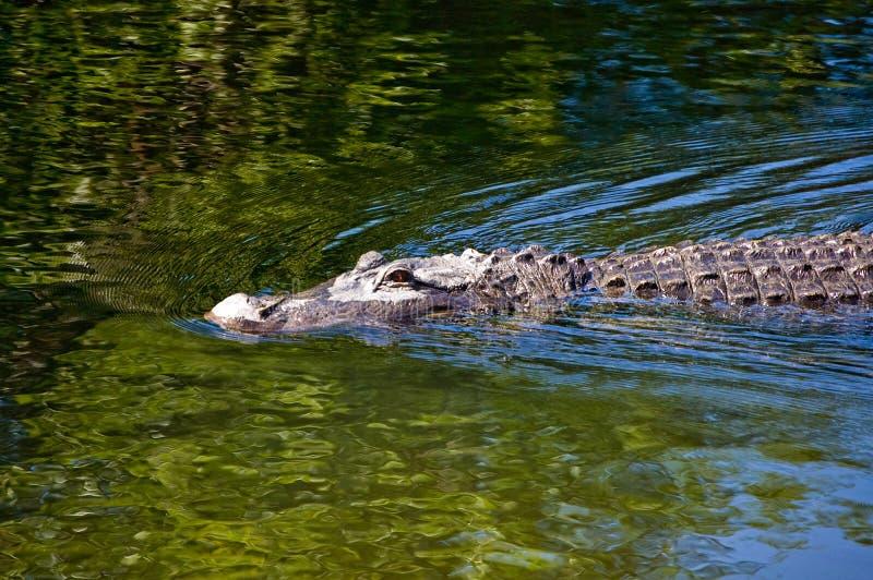 Coccodrillo di nuoto fotografia stock