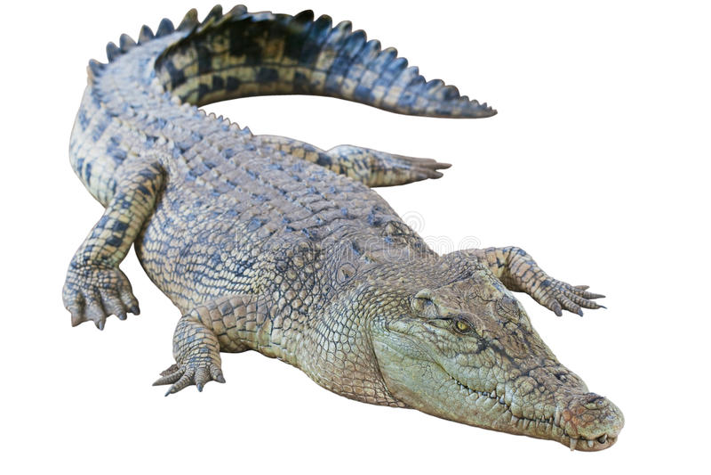 Coccodrillo dorato isolato fotografie stock libere da diritti