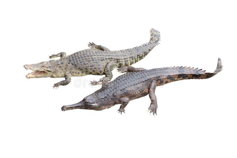 Coccodrillo ed amico gavial fotografie stock libere da diritti