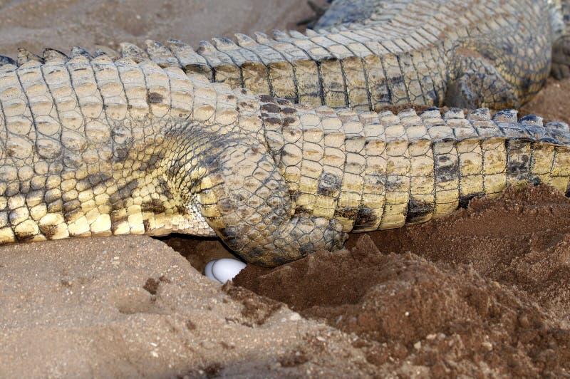 Coccodrillo femminile del Nilo che fa le uova immagine stock libera da diritti