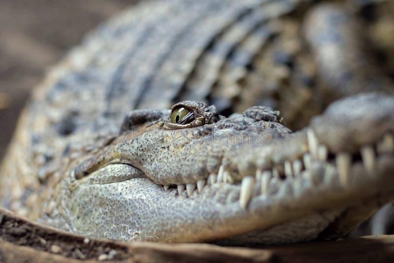Coccodrillo filippino Crocodylus mindorensis immagini stock