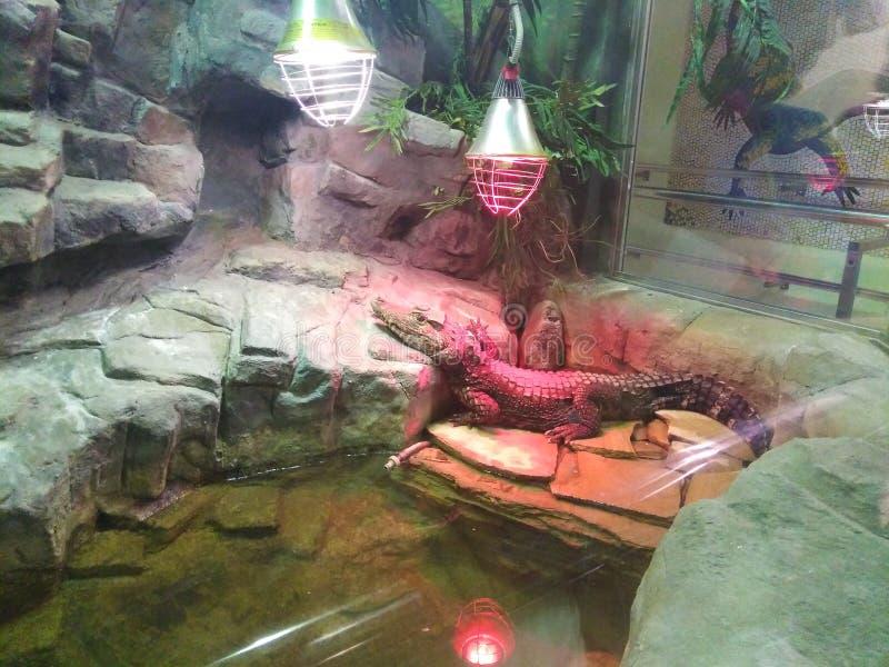 Coccodrillo in giardino zoologico fotografie stock