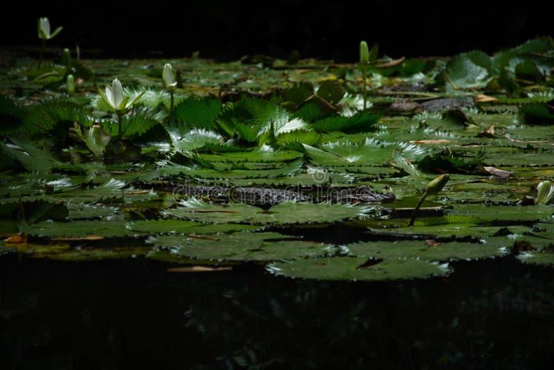 Coccodrillo in giungla tropicale immagini stock libere da diritti
