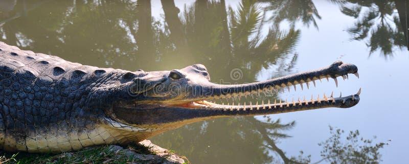 coccodrillo Lungo-cappottato. fotografia stock libera da diritti