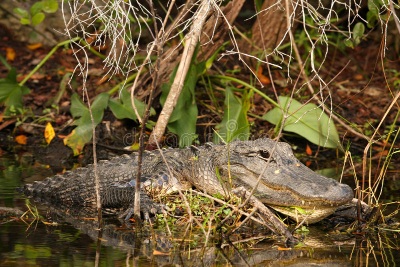Coccodrillo maschio voluminoso in terreni paludosi, Florida immagine stock