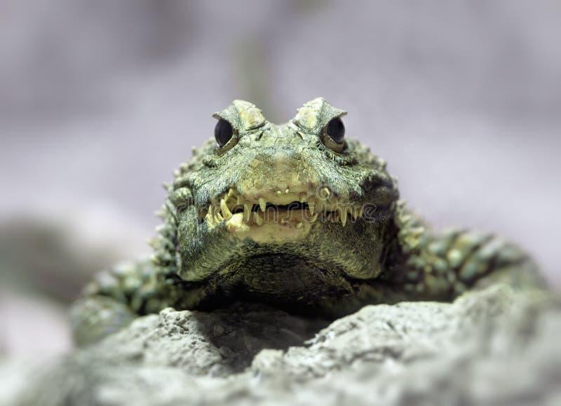 Coccodrillo nano fotografia stock