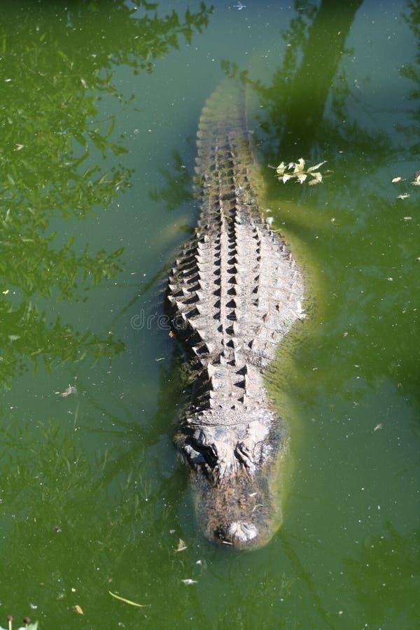 Coccodrillo nell'acqua fotografia stock libera da diritti