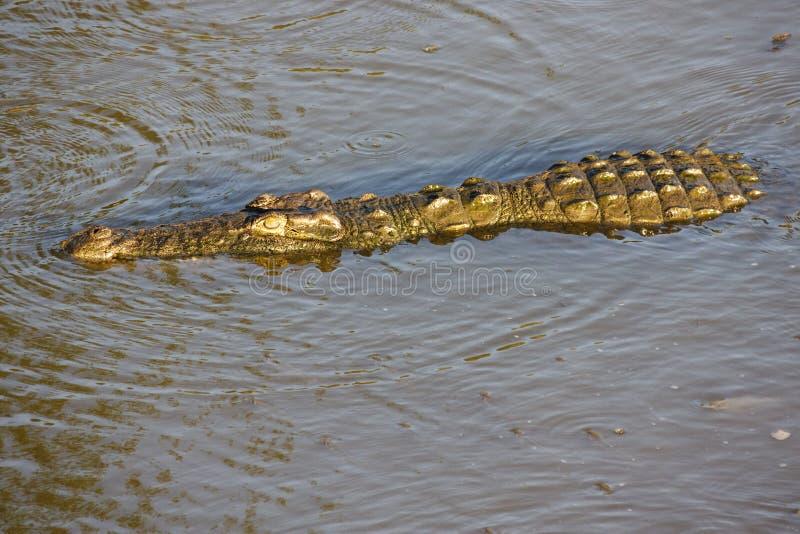 Coccodrillo nell'acqua immagini stock