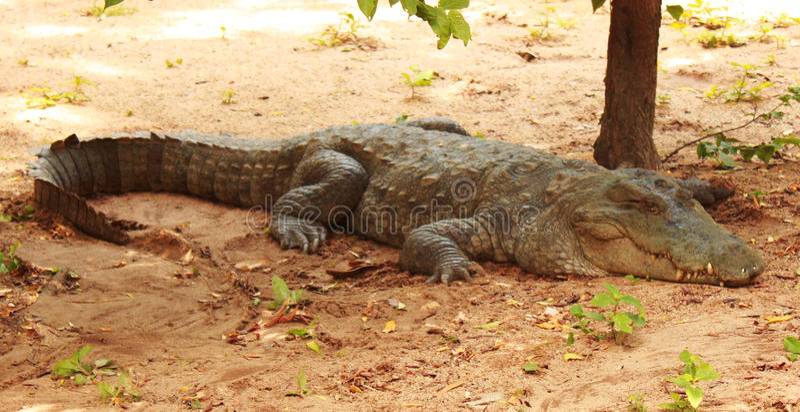 Coccodrillo palustre o coccodrillo della palude immagini stock