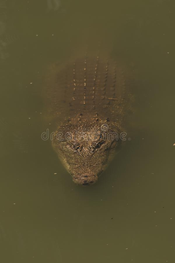 coccodrillo sull'acqua fotografia stock