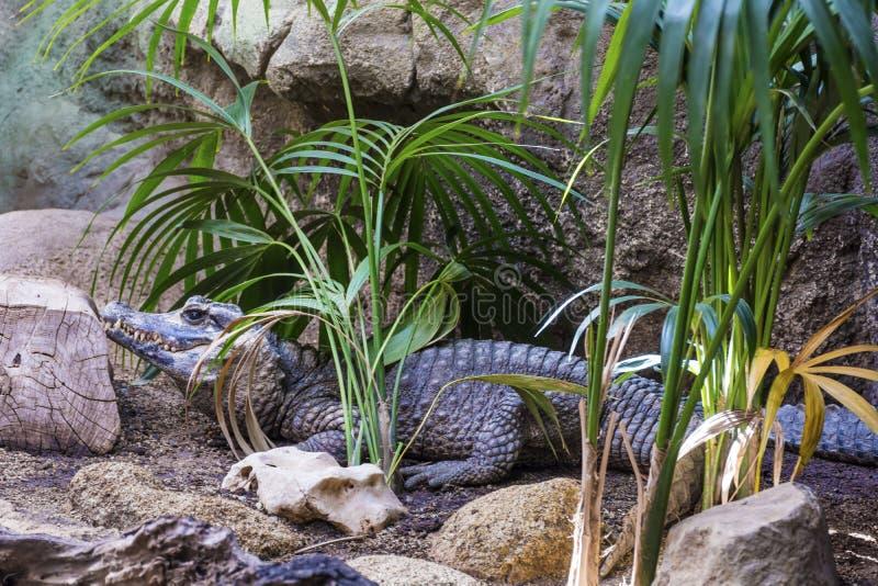 Coccodrillo in uno zoo immagini stock libere da diritti