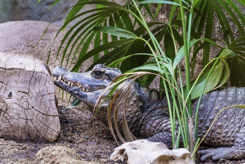 Coccodrillo in uno zoo fotografie stock libere da diritti