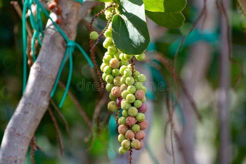 Coccoloba-uvifera tropische Anlage mit Früchten, Seetrauben-Betriebsabschluß oben stockfotografie