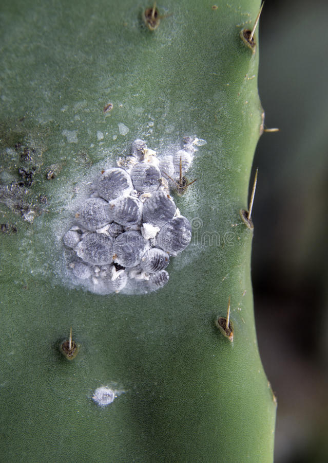coccus κάκτων opuntia dactylopius κωχενιλλών στοκ εικόνα