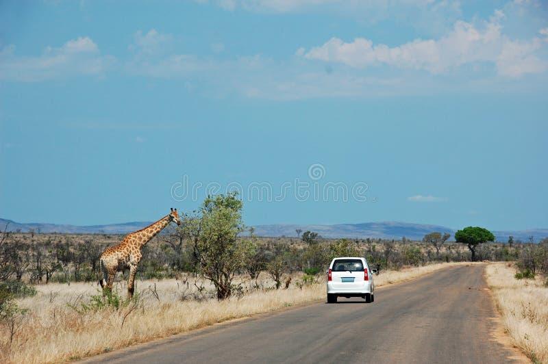 Coche blanco en el safari que pasa una jirafa que se coloca en el lado izquierdo del camino en Kruger Nationalpark Suráfrica imagen de archivo libre de regalías