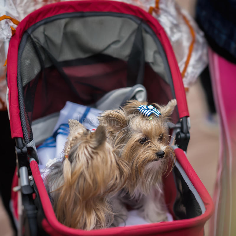Cochecito de bebé con dos terrieres de Yorkshire elegante vestidos, foco selectivo Paseo feliz del dueño y de sus animales domést imagenes de archivo
