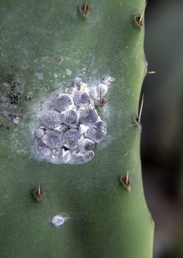 Cochenilles (coque de Dactylopius) sur le cactus d'opuntia image stock