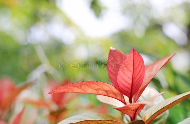 Cochinchinensis del leafExcoecaria dell'albero di cecità su fondo vago nel giardino di estate fotografie stock libere da diritti