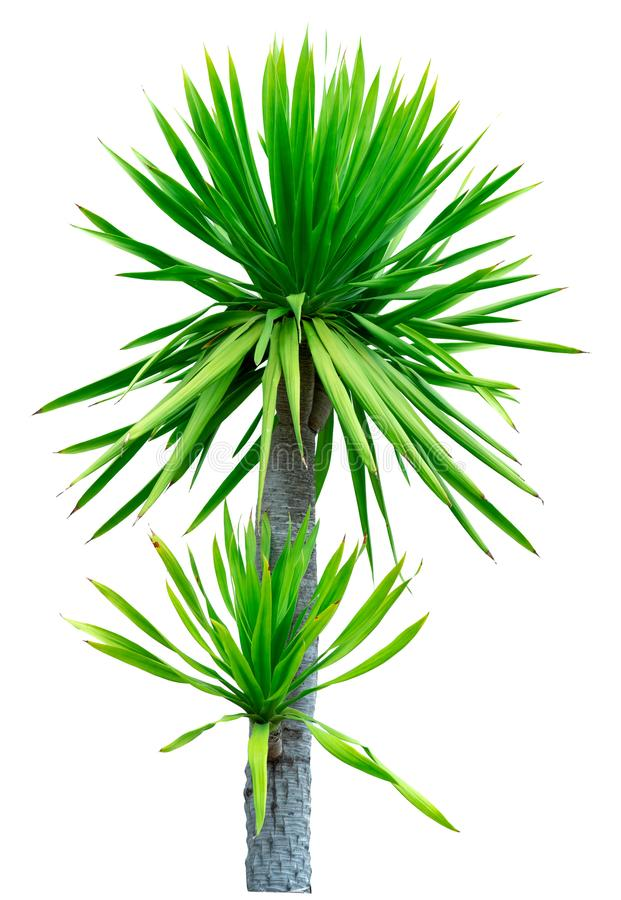 Cochinchinensis Dracaena που απομονώνεται στο άσπρο υπόβαθρο πράσινο δέντρο φύλλων Διακοσμητικές εγκαταστάσεις για τη διακόσμηση  στοκ εικόνες