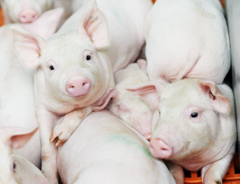 Cochinillo joven en la granja de cerdo imagen de archivo