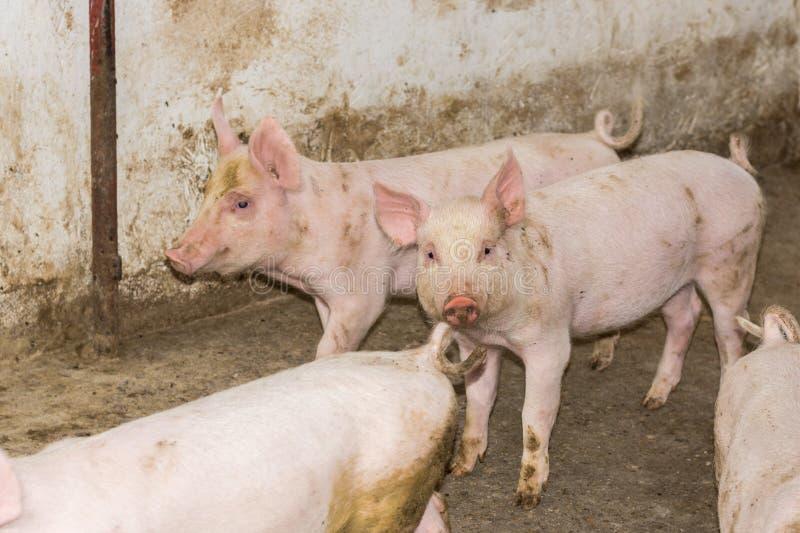 Cochinillos jovenes en una granja de cerdo en el campo foto de archivo