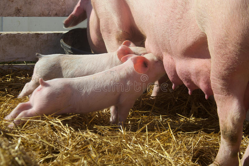 Cochinillos lindos del bebé que ordeñan de cerdo de la madre foto de archivo libre de regalías