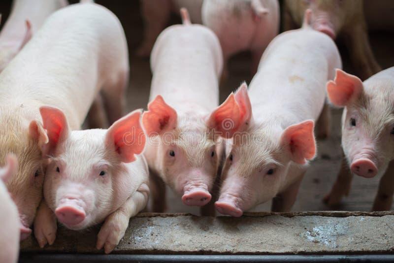 Cochinillos lindos en la granja de cerdo fotografía de archivo libre de regalías