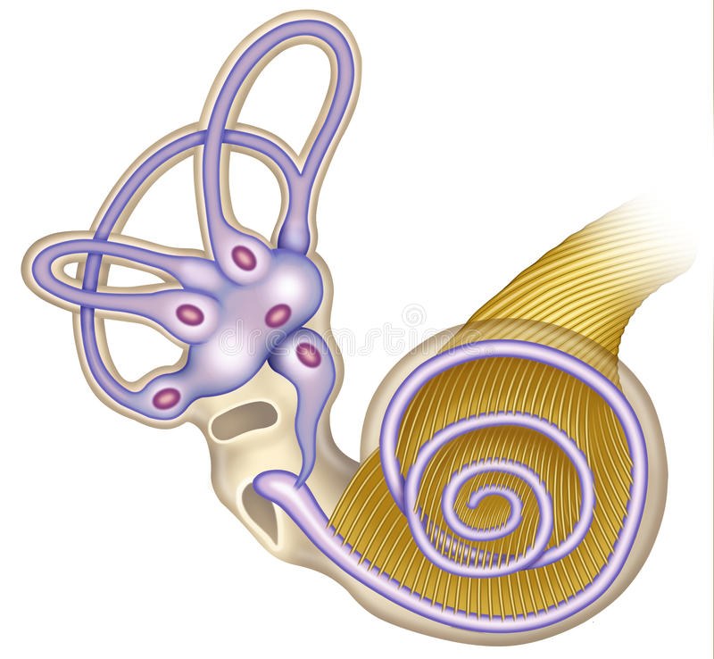 The Cochlea Canal Stock Photo