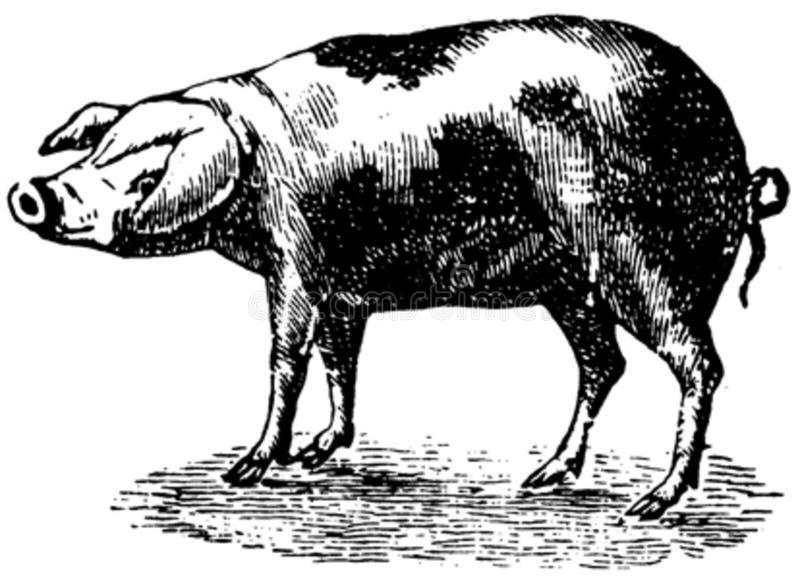 Cochon-009 Free Public Domain Cc0 Image