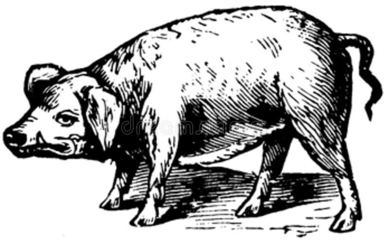 Cochon-013 Free Public Domain Cc0 Image