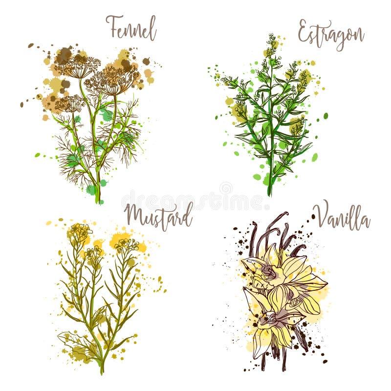 Cocinar las hierbas y las especias en estilo de la acuarela Hinojo, estragón, mostaza, vainilla ilustración del vector
