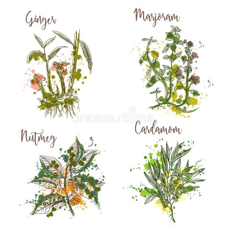 Cocinar las hierbas y las especias en estilo de la acuarela Jengibre, mejorana, nuez moscada moscada, cardamomo stock de ilustración