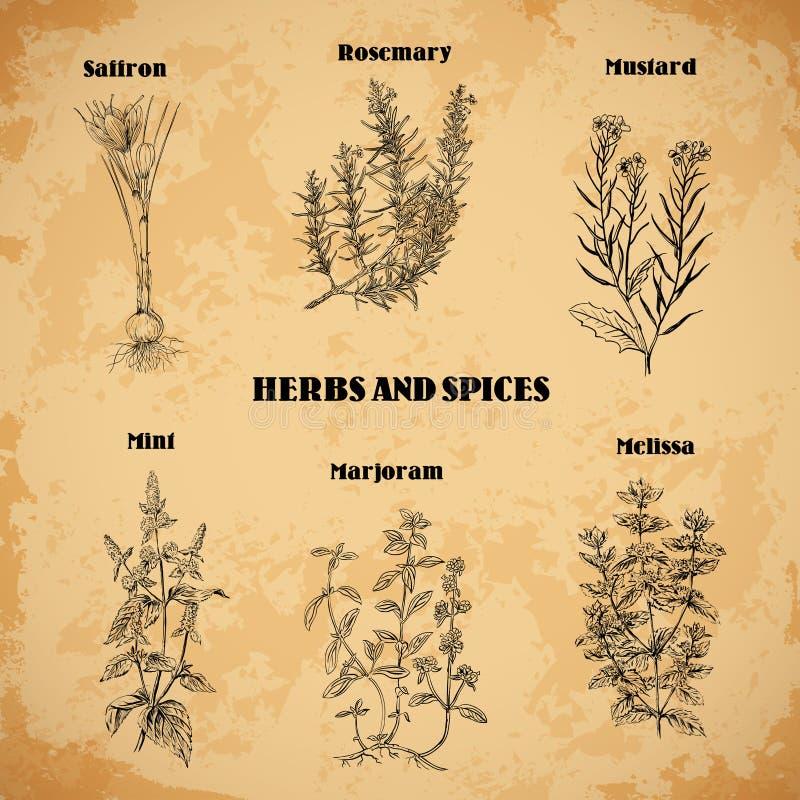 Cocinar las hierbas y las especias Rosemary, azafrán, mostaza, menta, mejorana, toronjil Ejemplo dibujado mano retra del vector stock de ilustración