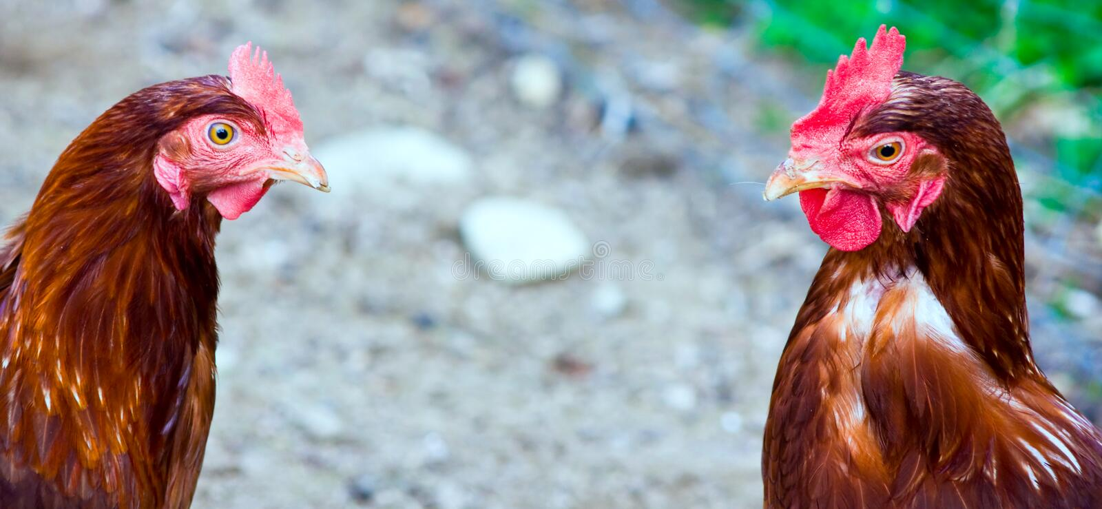 And hen. Close up on an organically raised, free range chicken royalty free stock photo