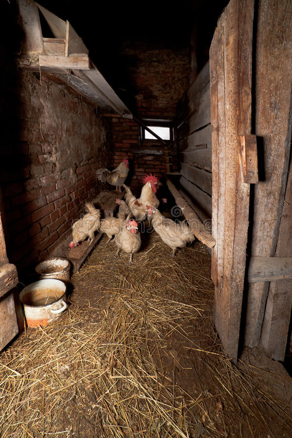 The With Hens In A Rural Hen House Royalty Free Stock Photo