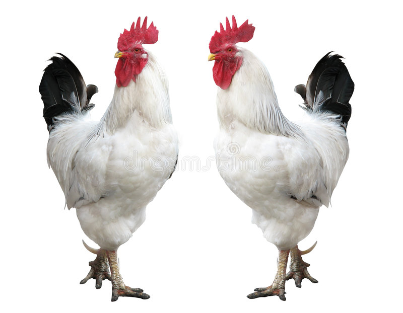 Isolated, rooster. Two young white (isolated and pathed stock image