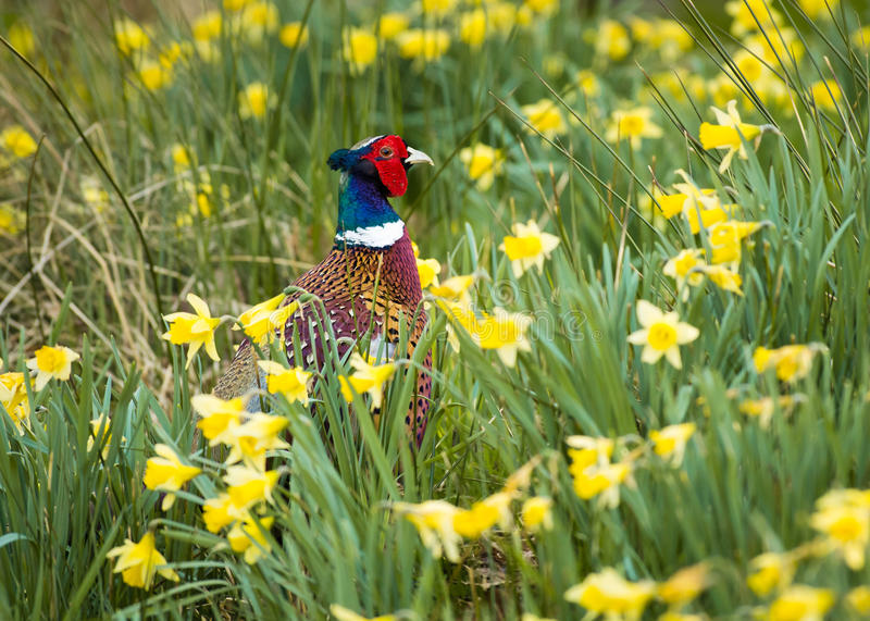 Pheasant in Daffodils. A Pheasant walking through a patch of wild Daffodils royalty free stock image