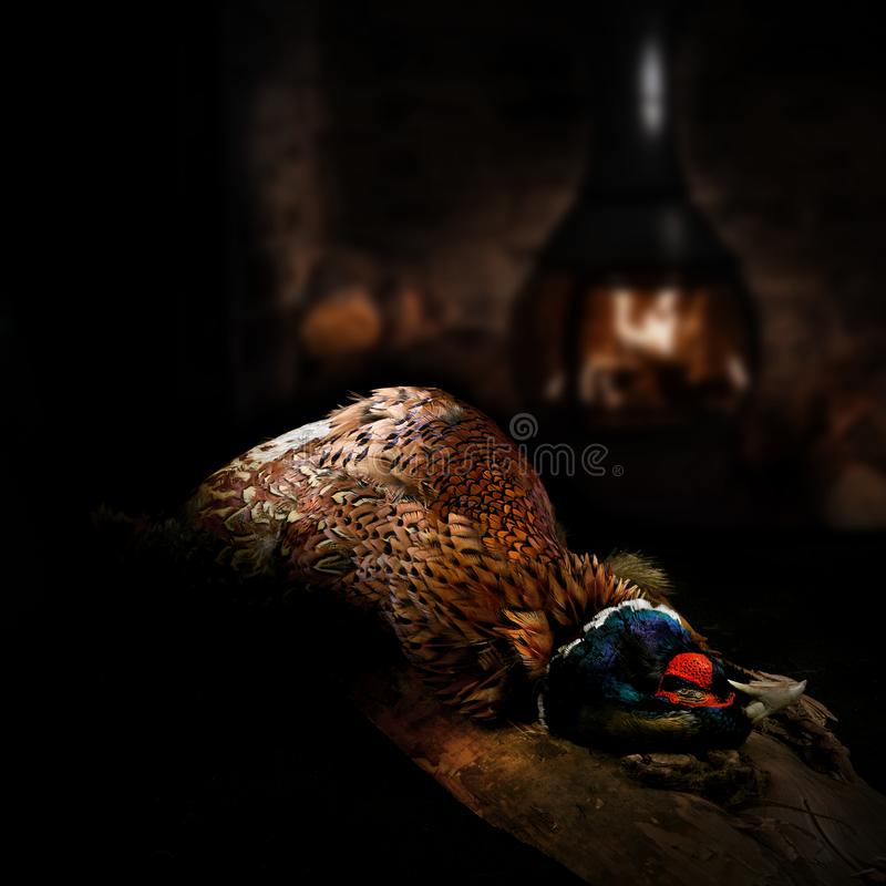 Pheasant. A male, pheasant ready for plucking and preparation for cooking, shot against a dark rustic background with wood burner. Concept image for Christmas stock photo