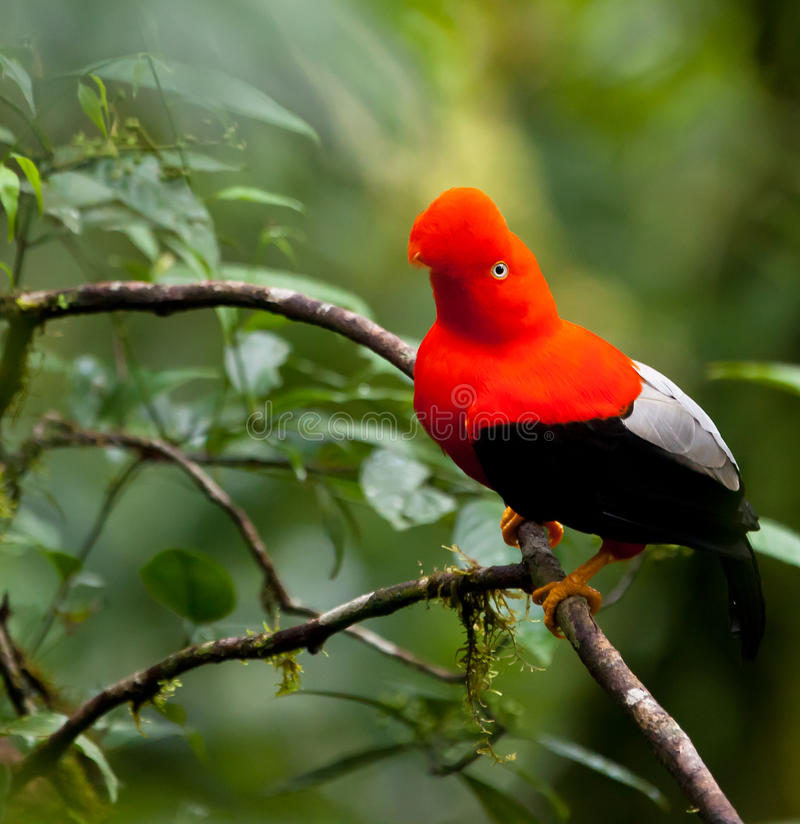 The Cock-on-the-Rock bird. The Cock-on-the-Rock (Rupicola peruvianus) is possibly one of the most famous and spectacular birds of the peruvian montane cloud stock photos