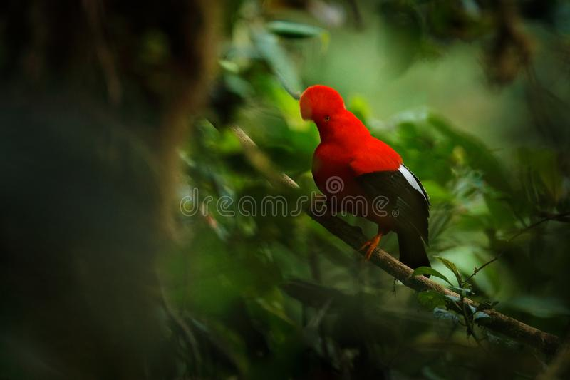 Cock-of-The-Rock, Rupicola peruvianus, red bird with fan-shaped crest perched on branch in its typical environment of tropical. Rainforest. National bird of stock photos
