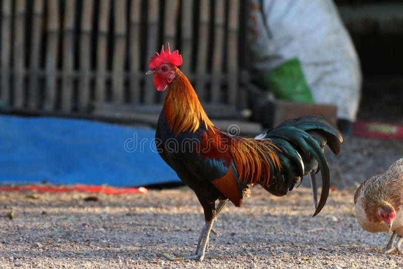 porn-cock-picture-rooster-coverage-bikini-galleries