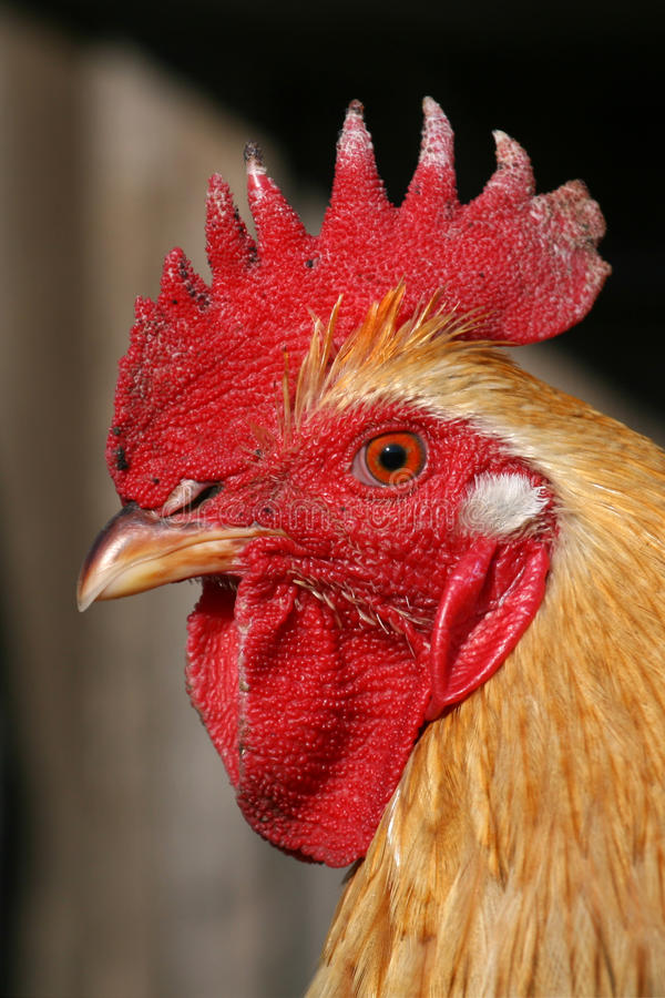 Free Cock S Portrait Stock Photos - 9426813