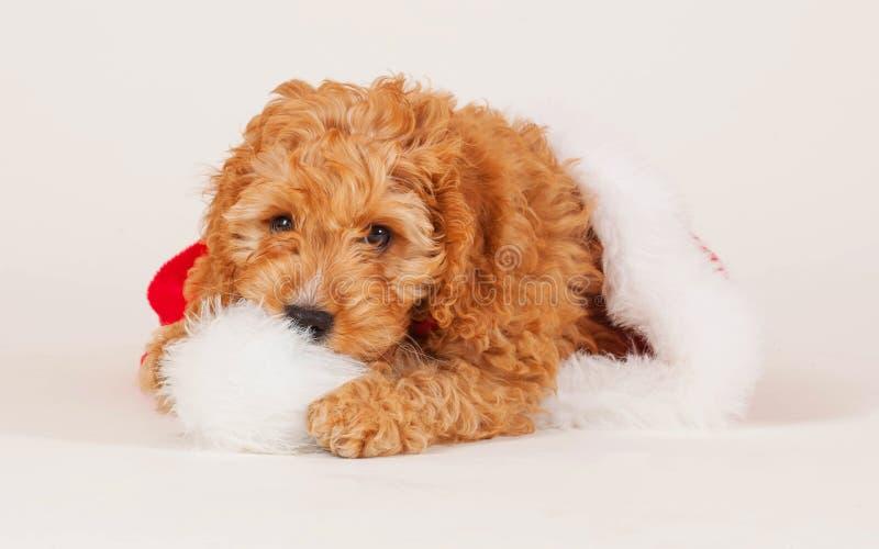 Cockapoo圣诞节小狗 库存图片