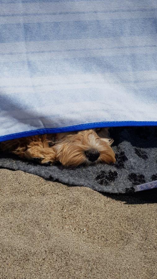 Cockapoo狗戳鼻子在防风林下在海滩 库存图片