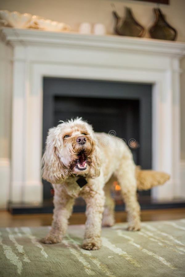 Cockapoo barking in front of fire. Place royalty free stock image